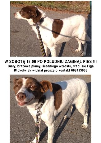 Zaginął pies Busko Gacki Pińczów Ponidzie !!!
