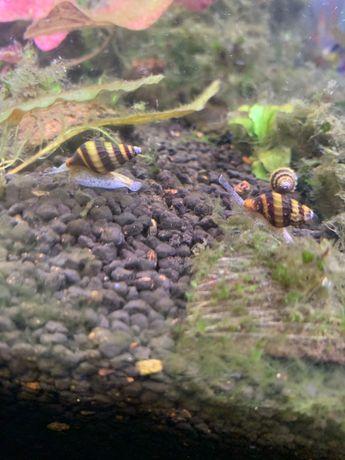 Helenki ślimaki ostatnie 5szt
