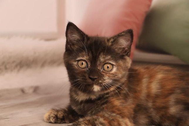 Шотландская кошечка редкого мистического окраса. Шотландские котята