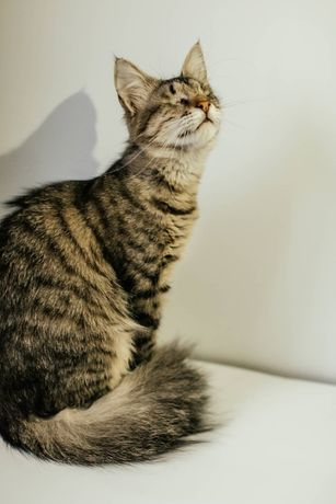 Кошечка Красавица. 7 месяцев. Стерилизована. Котики, котята, кот