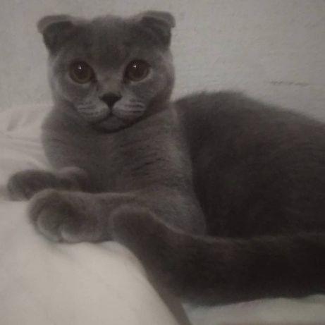 Вязка чистокровная шотландская вислоухая кошка