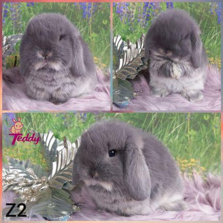 Królik króliczki Mini Lopki. Maluszki Mini Lop