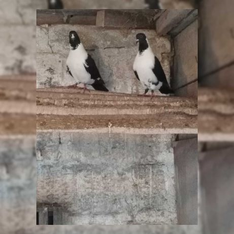 Gołębie strasery (para) okazja!!