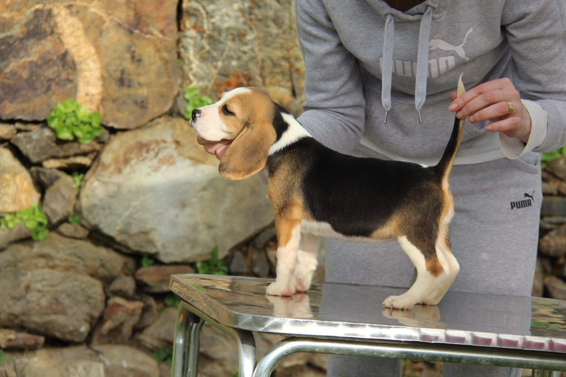 Cachorra Beagle com Lop