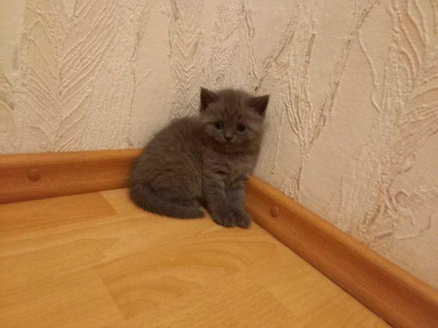 Чистокровні шотландські кошенята
