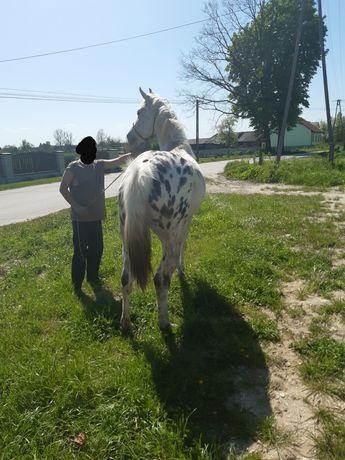 Koń klacz tarant