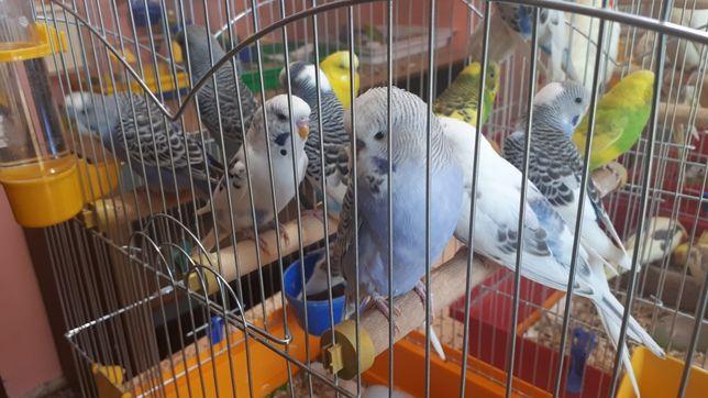 Хвилястий папуга, папугай, попугай, папуг, попуга є гурт для магазинів