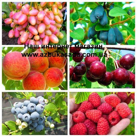 Саженцы плодовых деревьев слива,черешня, яблоня,розы, крыжовник,малина