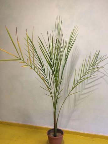 Пальма финик
