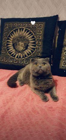 Вязка породистого вислоухого кота