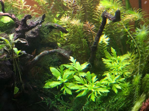 Super Okazja Rosliny akwarium Hygrophila Difformis Nadówka