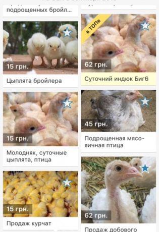 Суточные цыплята бройлер кросс Кобб-500 и росс-708 с Венгерского яйца.
