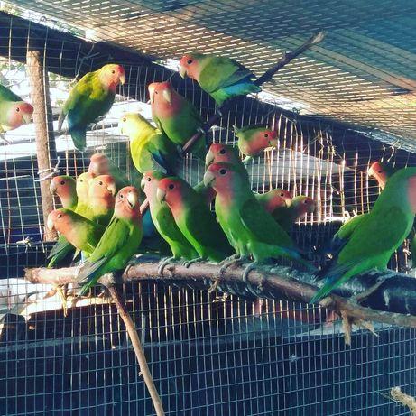 Попугайчики, неразлучники, попугаи