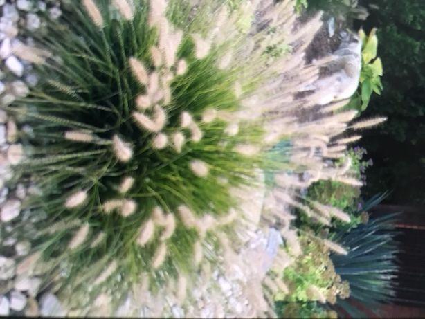 Rozplenica japońska trawy byliny dąbrówka imperata/trawa tojeść hosta