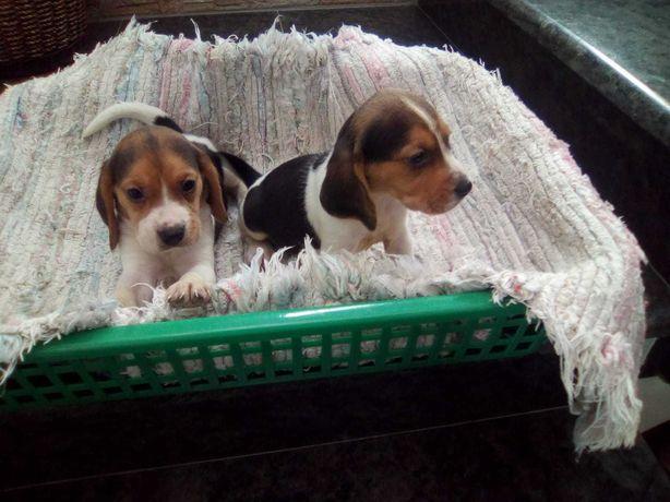 beagle tricolor  criado em ambiente familiar disponível para entrega i