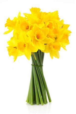 Нарциссы цветы живые