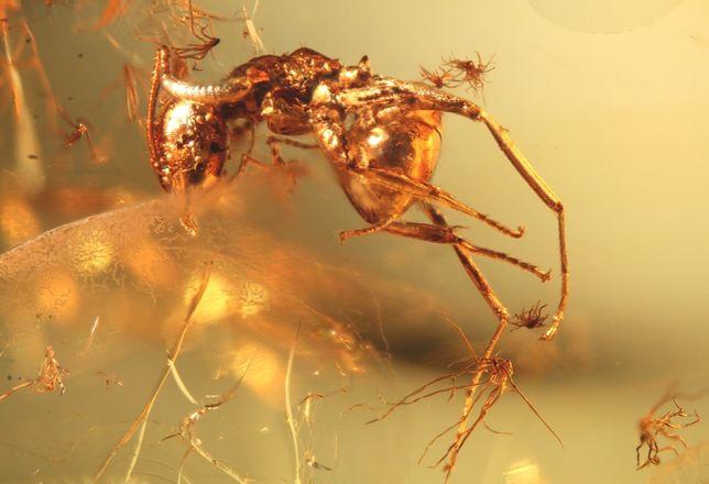 Mrówka w bursztynie sprzed 35-50 milionów lat