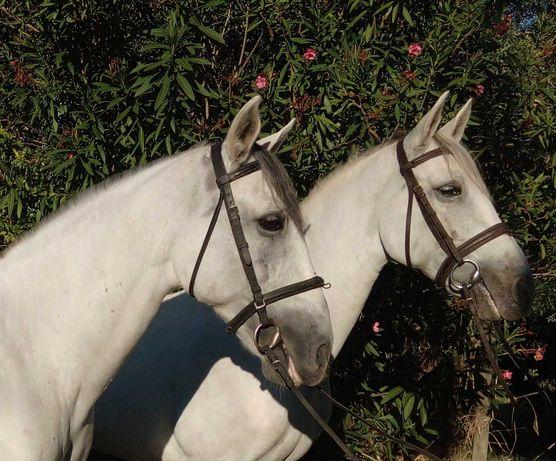 Parelha Cavalos PRE c/ DOCUMENTOS Engatados e Montados