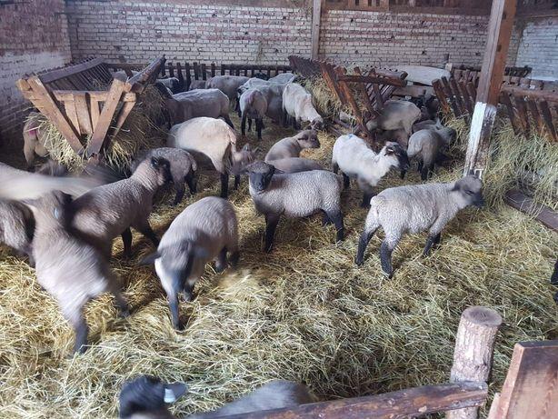 Baranki owca czarnogłówka