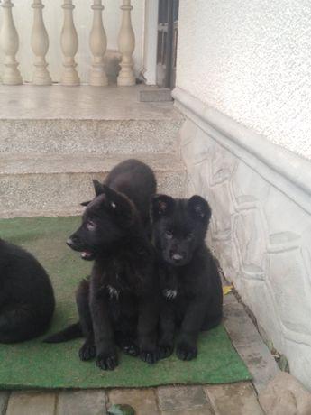 Продам щенят чорної бельгійської вівчарки