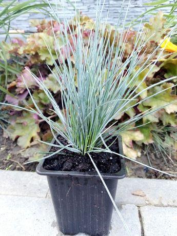 Już dostępna Kostrzewa sina niebieska trawa ozdobna roślina ozdobna