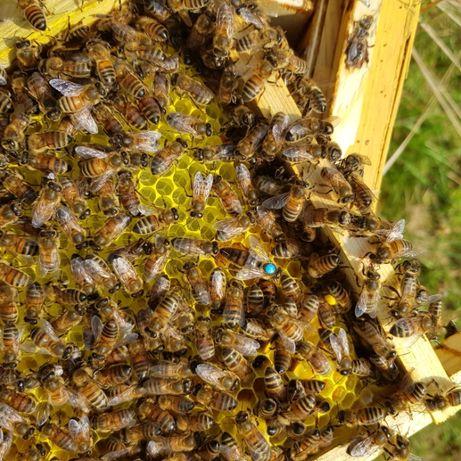 Matka pszczela unasienniona sztucznie (bez sprawdzonego czerwienia)