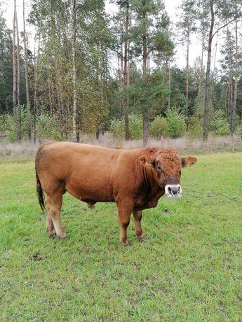 Sprzedam byka lm
