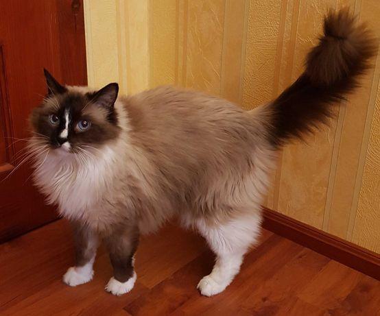 Ragdoll, piękna ,spokojna i przymilna kotka na sprzedaż