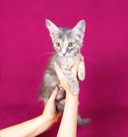 Котенок девочка Элли 3 мес, окрас шиншилла с белым. Привита