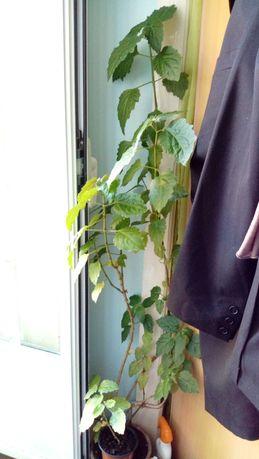 Plantas para casa, pachouli enorme