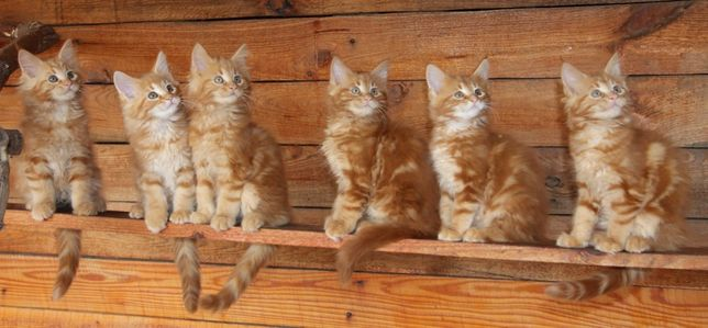 Кот для вязок,Питомник,WCF,окрас - d22