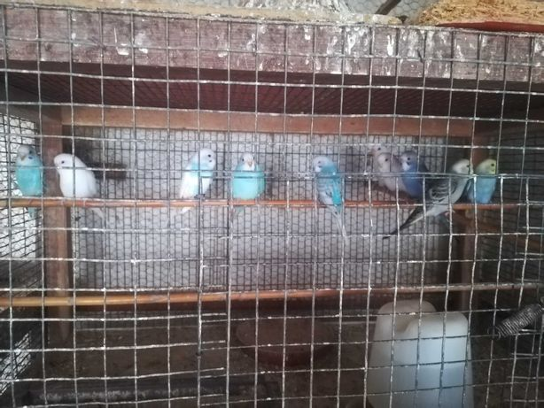 Lote Periquitos - 10 aves