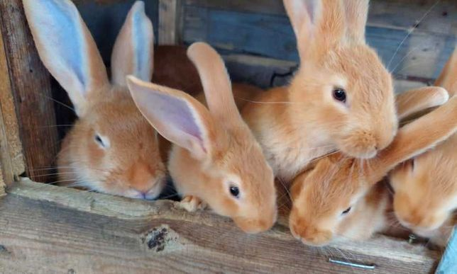 Кролики  породистые