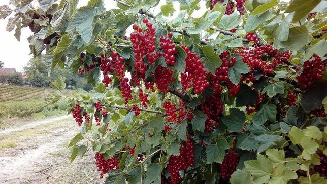 Porzeczki czerwone Rovada inne odmiany deserowe