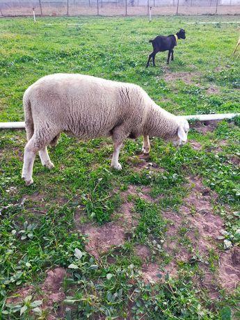 Vendo carneiro 1 ano