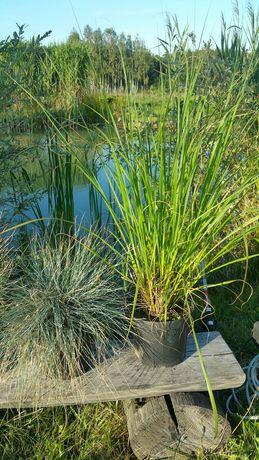 Trawy ozdobne duże