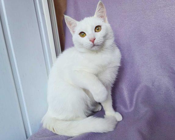 Срочно! Белый пушистый комочек Снежана (3мес) кошечка котеночек кошка