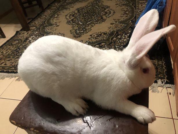 Кролі термонці термонська біла кролики