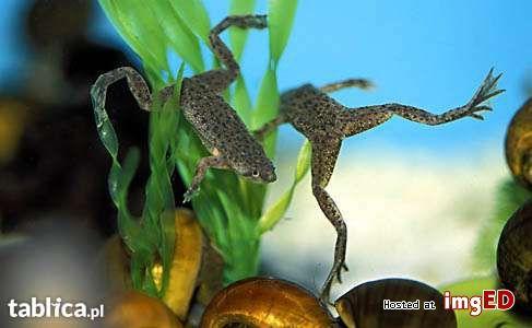 karlik szponiasty , żabka akwariowa
