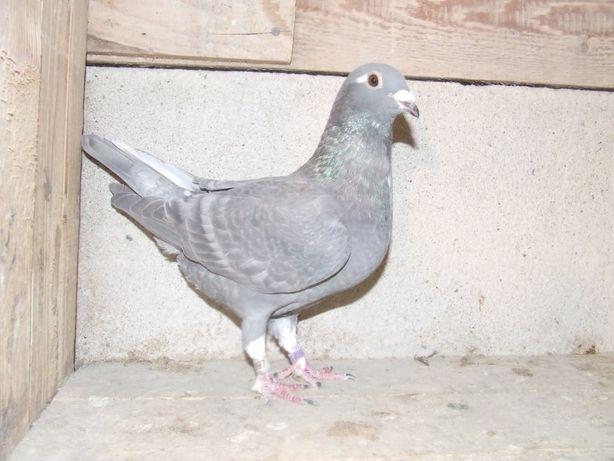 Gołąbki Dziadka Mariana nr 33 - gołębie pocztowe ozdobne