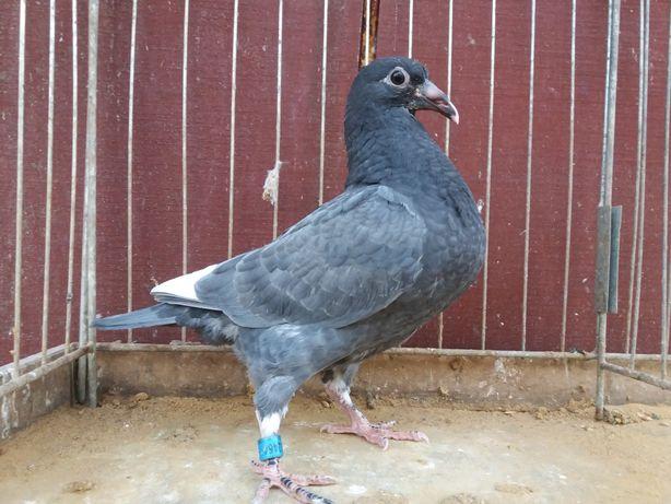 Gołębie pocztowe młody