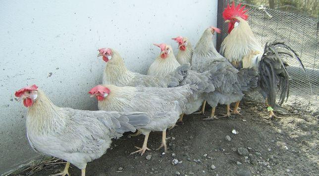 kury rasowe ,kurczaki