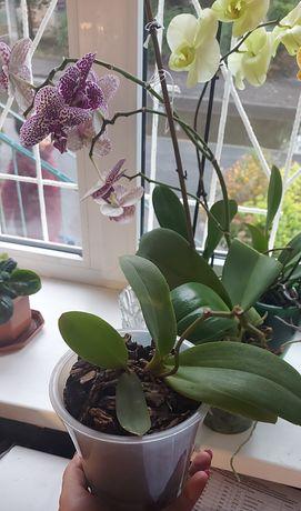 Оранжевая орхидейка