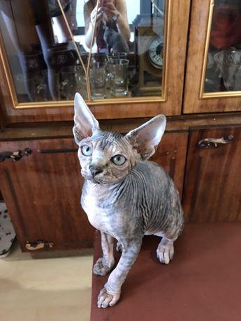Продам котика сфинкса