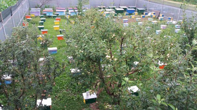 Пчеломатки.Матки плідні мічені 2021р