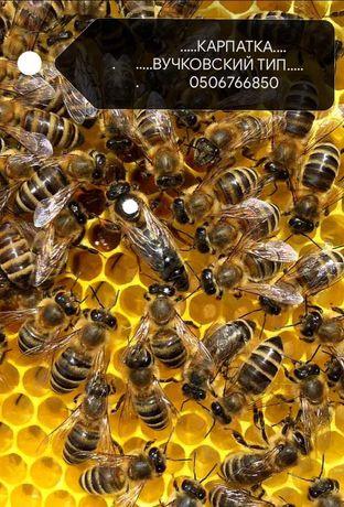 В НАЛИЧИИ плодные Пчеломатки  Карпатка. 2021  года.