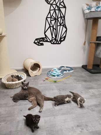 Kot Brytyjski  kocięta gotowe do odbioru możliwy dowóz