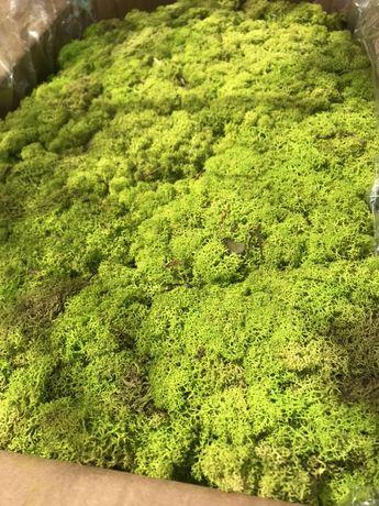 Стабилизированный норвежский мох