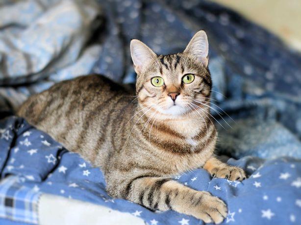 Роскошная ласковая кошка 10 месяцев стерилизована