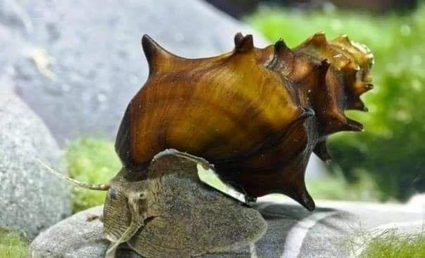 Ślimak do akwarium/ślimaki/Brotia Pagodula